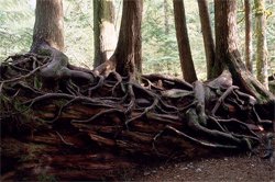Three trees on a nurse log